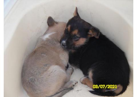 Two Puppies FREE to good home