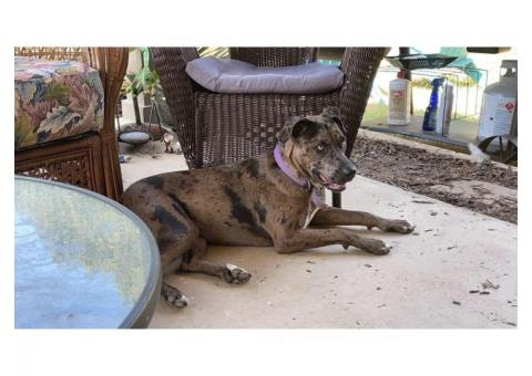 Catahoula Bulldog FREE to good home